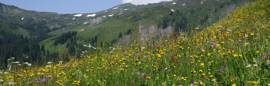Alpine hay milk meadow