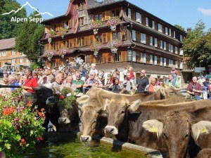 Annual highlight - cows return from the Alps to the Bregenzerwald villages