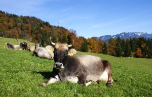 Brown cattle breed